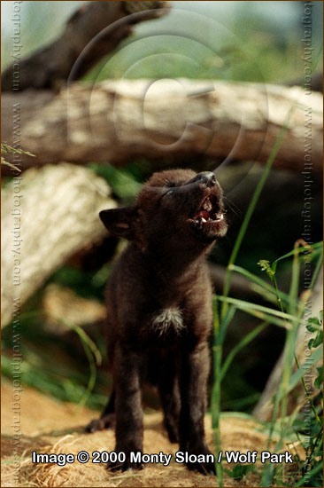 Young Pup Howls